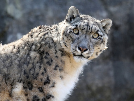 Steve Tracy - Snow Leopard