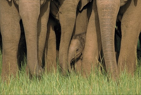 http://naturesbestblog.files.wordpress.com/2010/05/indianelephants.jpg?w=468&h=314