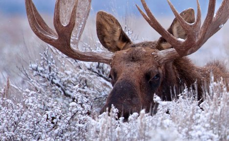 Shiras Bull Moose by Chase Dekker